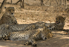 Gepardfamilie Stockfotos