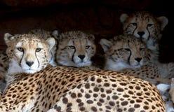 Gepardfamilie, die in einem Schutz liegt Lizenzfreie Stockfotos