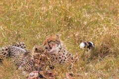 Gepardfamilj mara masai Royaltyfri Fotografi