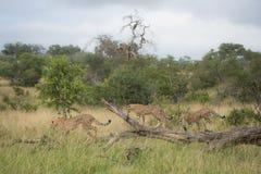 Gepardfamilj på ett stupat träd royaltyfri foto