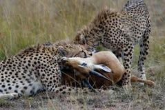 Gepardfamilj som fångar och slukar en gasell på den afrikanska savannahen Fotografering för Bildbyråer