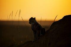 Gepardgröngöling på soluppgång fotografering för bildbyråer