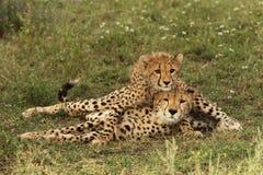 Gepardgröngölinglögner på dess moders baksida isn Tanzania Royaltyfri Foto
