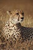 Gepardhaltungen Stockbild