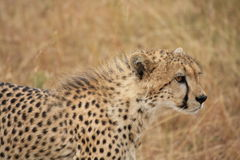 Gepardhaltungen Stockfoto