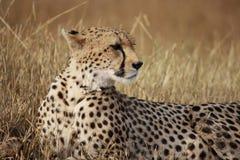 Gepardhaltungen Stockfotografie