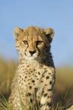 Gepardjungabschluß oben Stockfotografie
