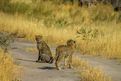 Gepardjunge auf der Straße Lizenzfreie Stockbilder