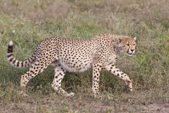 Gepardjunges (Acinonyx jubatus) in Tanzania Stockfoto