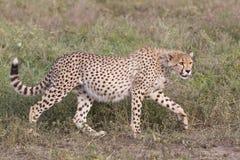 Gepardjunges (Acinonyx jubatus) in Tanzania Stockfoto