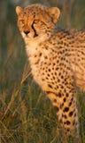 Gepardjunges mit Blut Stockbild