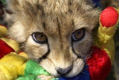 Gepardjunges am Spiel stockbilder