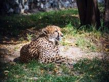 Gepardlögner och blickar Arkivfoto