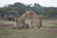Gepardmamma und -junges Stockfotografie