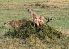 Gepardmoder med gröngölingar på en kulle Tom Wurl Royaltyfri Fotografi