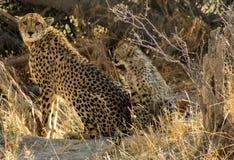Gepardmutter mit Jungem Stockbild