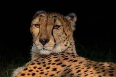 Gepardporträt im tiefen Schatten Stockbilder