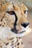 Gepardportrait Stockbild