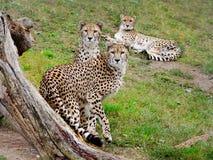 Gepards photo stock