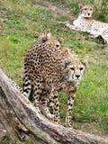 Gepards photos libres de droits