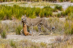Gepards jakt Royaltyfri Bild