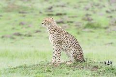 Gepardsammanträde på savann, Masai Mara, Kenya Arkivfoton