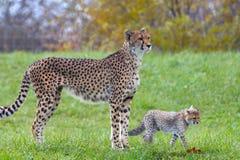 Gepardschätzchen und seine Mutter Lizenzfreie Stockfotografie