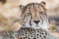Gepardstående Sydafrika Arkivfoto