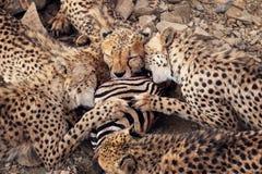 gepardy obraz royalty free