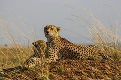 Gepardy Obrazy Royalty Free