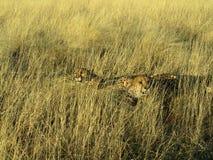 Południowi afrykańscy zwierzęta Zdjęcie Royalty Free