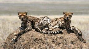 gepardy dwa Zdjęcia Stock