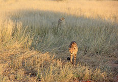 Gepardy, Namibia Obrazy Royalty Free
