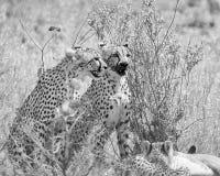 Gepardy Przy zwłoka obraz stock