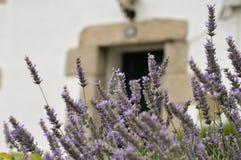 Geparfumeerde lavendel stock foto's