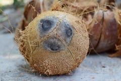 Gepelde bruine kokosnoot Stock Afbeelding