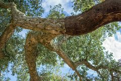 Gepelde cork eikenboom Stock Fotografie