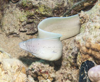 Gepfefferter Moray auf einem Korallenriff Lizenzfreies Stockfoto
