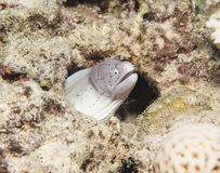 Gepfefferter Moray auf einem Korallenriff Stockfoto