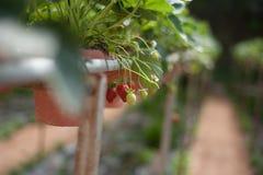 Gepflanzt in den Reihen auf einem Abhang lizenzfreies stockfoto