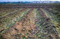 Gepflanzt mit den Reiskontrollen nicht schon gefüllt mit Wasser Stockfotografie