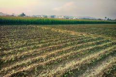 Gepflanzt mit den Reiskontrollen nicht schon gefüllt mit Wasser Stockbild