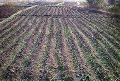 Gepflanzt mit den Reiskontrollen nicht schon gefüllt mit Wasser Lizenzfreies Stockfoto