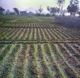 Gepflanzt mit den Reiskontrollen nicht schon gefüllt mit Wasser Stockfoto