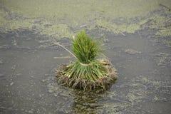 Gepflanzt zu werden Reis Stockfotografie