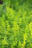 Gepflanzte Karotten im Boden Lizenzfreie Stockfotos