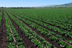 Gepflanztes Kopfsalat-Getreide Stockbild