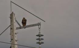 Gepflasterter Adler Stockbild