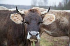 Gepflegte Kuh auf dem Rasen im Fall Stockbilder