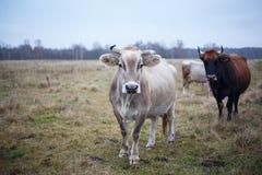 Gepflegte Kuh auf dem Rasen im Fall Stockfotos